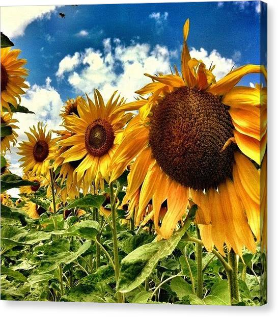 Swiss Canvas Print - Sunflowerpower! by Urs Steiner