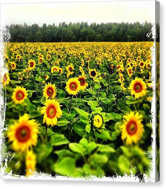 Swiss Canvas Print - Sunflowers! Pick One, If You Like by Urs Steiner