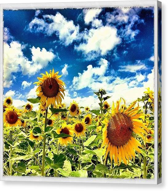 Swiss Canvas Print - Sunflowers! by Urs Steiner