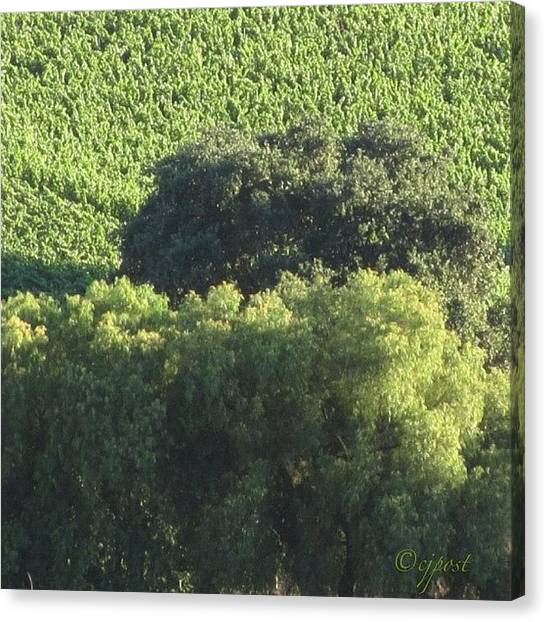 Vineyard Canvas Print - #sunlight On #treetops #nofilter by Cynthia Post
