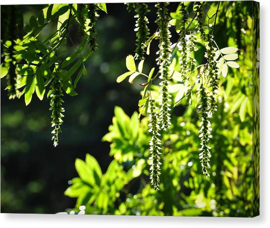 Sunlight Through Branches Canvas Print by Ronda Broatch