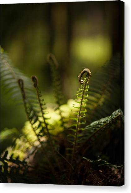 Olympic National Park Canvas Print - Sunlit Fiddleheads by Mike Reid