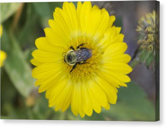 Sunny Bumblebee Canvas Print