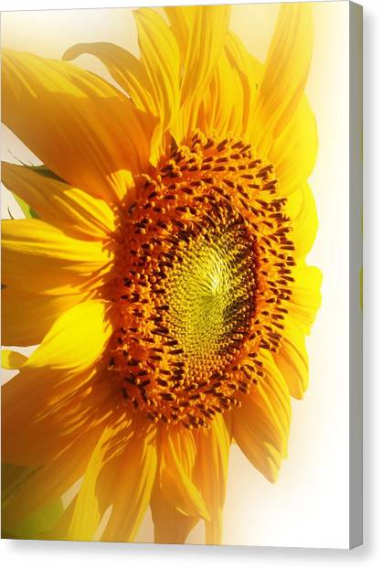 Sunny Softness Canvas Print