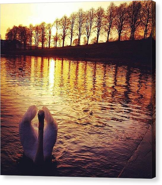 Swans Canvas Print - Sunset Swan For #skystyles_sunset_002 by Sarah Drummond
