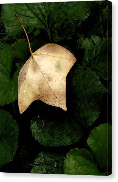 Suspended Leaf Canvas Print by Glenn Donze