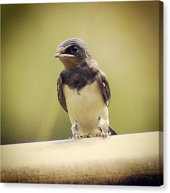 Swallows Canvas Print - Swallow by Martin Taylor