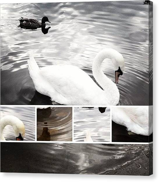 Swans Canvas Print - Swan And Duck On Lake by Rachel Williams