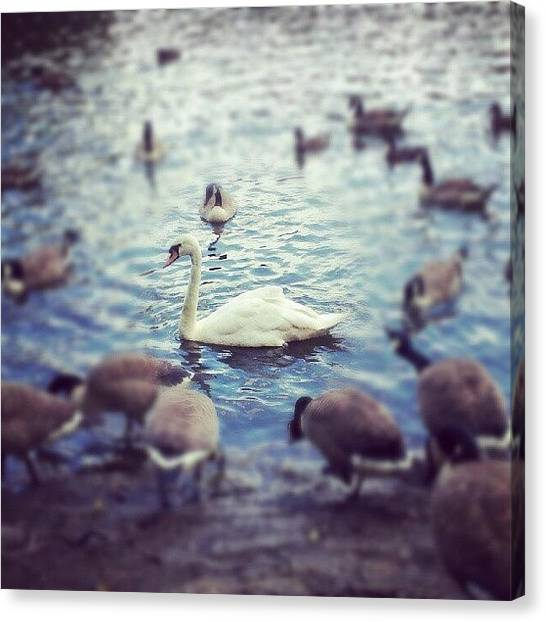 Biology Canvas Print - #swan #beauty #nature #birds #wildlife by Jake Delmonte