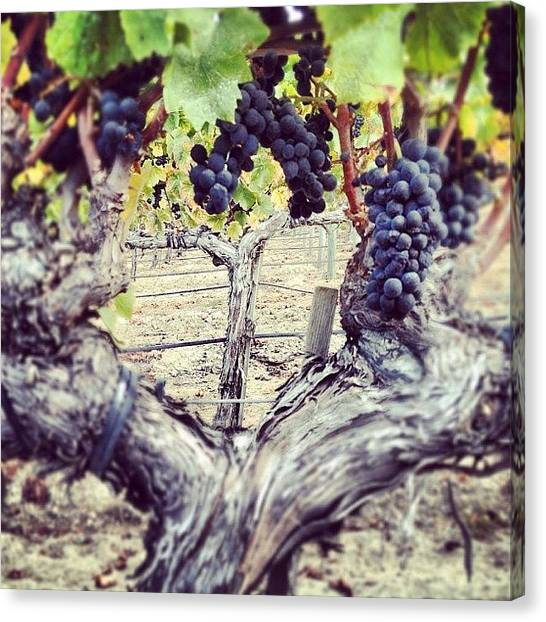 Wine Canvas Print - Swan Clone #pinot Picking On Thursday by Eric Kent Wine Cellars