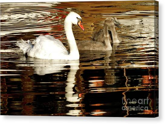 Swan Family In Evening Canvas Print