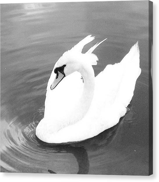 Swans Canvas Print - #swan #lake #water by Rachel Williams