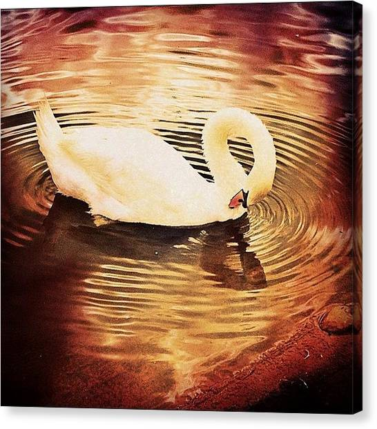 Swans Canvas Print - Swan Orange Effect by Rachel Williams