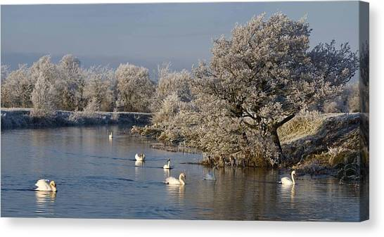 Swan Patrol Canvas Print