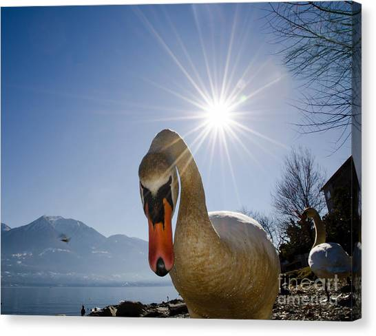 Swan Saying Hello Canvas Print
