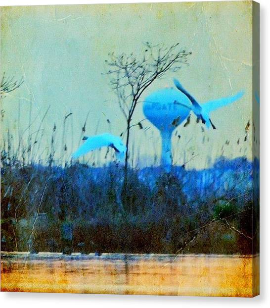 Swans Canvas Print - Swan Song ... Goodnight My Instagram by Penni D'Aulerio