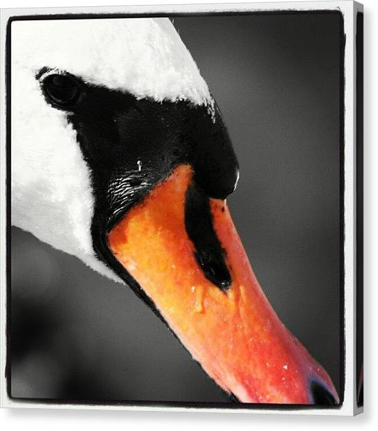 Swans Canvas Print - Swan. #swan #blackandwhite #bw #baw by Phil De Montjoie Heard