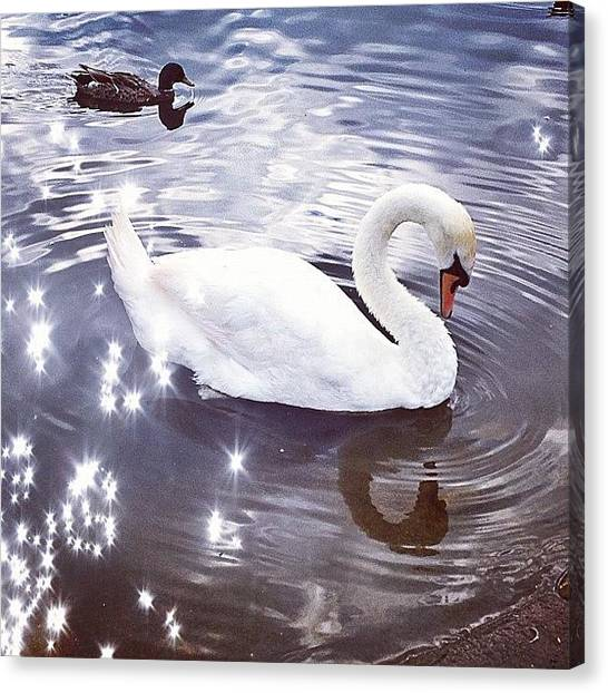 Swans Canvas Print - #swan #water #duck by Rachel Williams