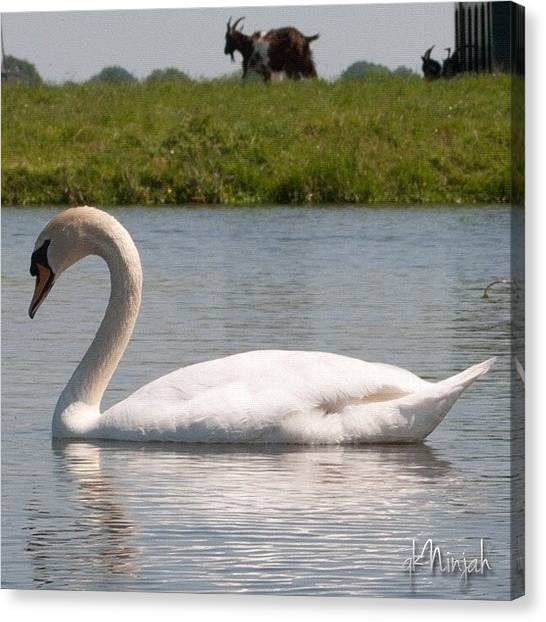Goats Canvas Print - #swan #zwaan #animal #white #bird by Qk Ninjah