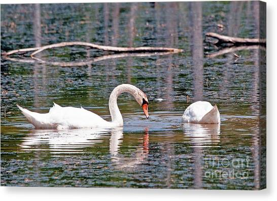 Swans At Lunch Canvas Print by Bob Niederriter