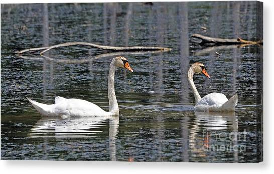 Swans At Sandy Ridge Canvas Print by Bob Niederriter