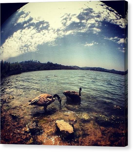 Swans Canvas Print - Swans. Bonelli Park. #picoftheday by Davis M