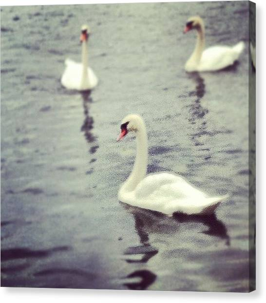 Swans Canvas Print - Swans by Marce HH