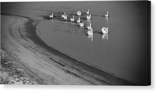 Swans On River Danube Canvas Print by Tibor Puski