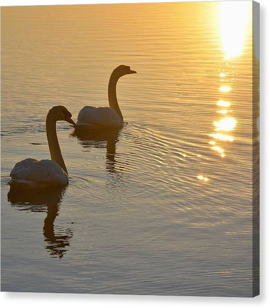 Jerseys Canvas Print - Swans by Penni D'Aulerio