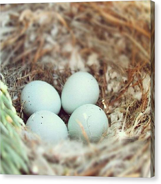 Robins Canvas Print - Sweet Robin's Egg Nest by Holly Sharpe-moore