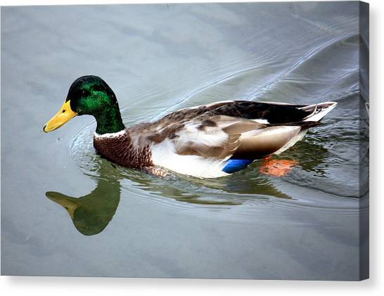Swimming Mallard Duck Canvas Print by Julia Mayo
