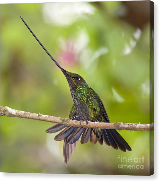 Sword-billed Hummingbird Canvas Print