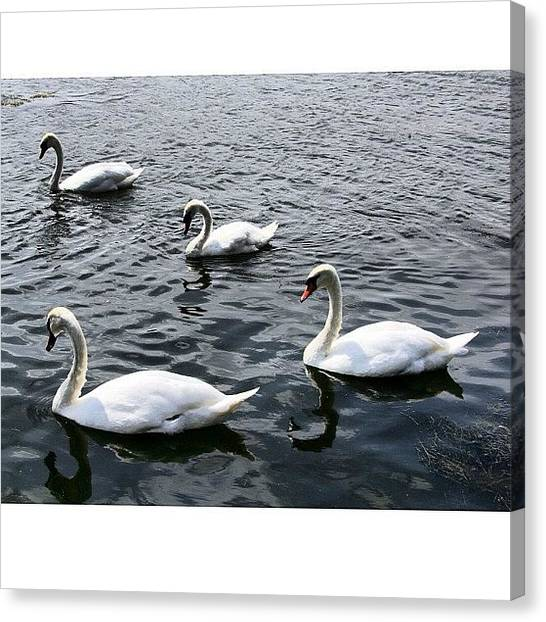 Swans Canvas Print - Synchro Sailing Swans #swan by Chris Barber
