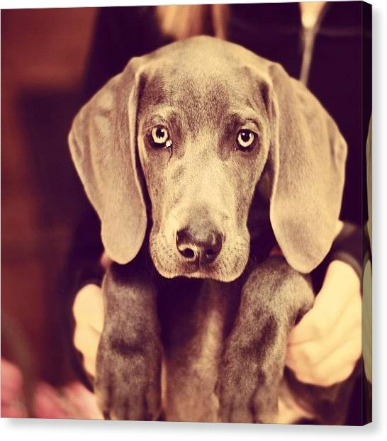 Scouting Canvas Print - #tagsforlikes #weim #dog #puppy #scout by Madt Jeffer