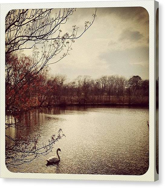 Swans Canvas Print - #tagstagram #photooftheday #instagood by Kelly Clemente