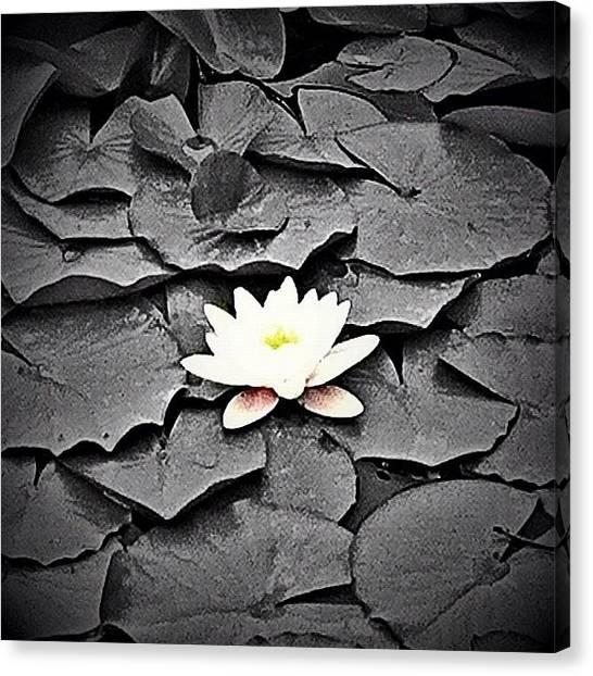Lilies Canvas Print - Taken @ The Abq Bot Garden. #instadaily by B D