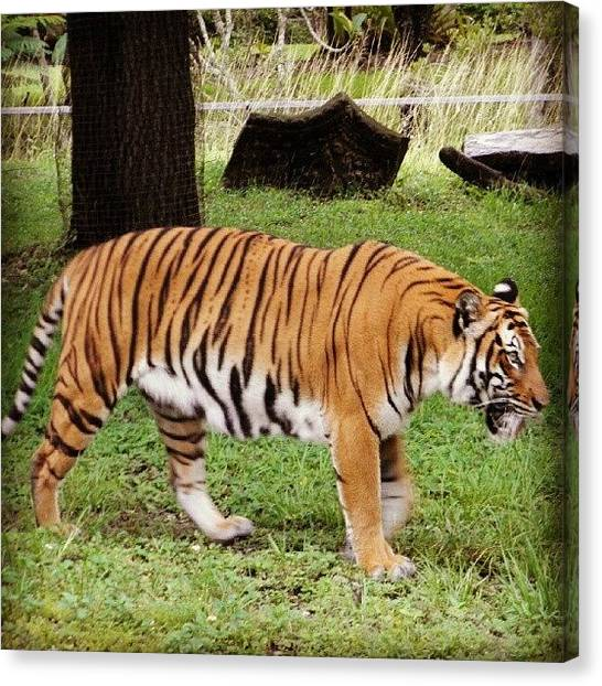 Tigers Canvas Print - Taken From My Olympus #tiger #zoo by Travis Albert