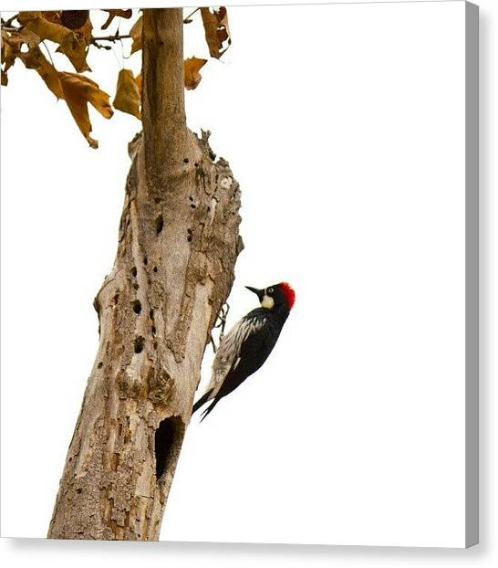 Woodpeckers Canvas Print - Taken With A Canon T2i #bird by Michael Amos