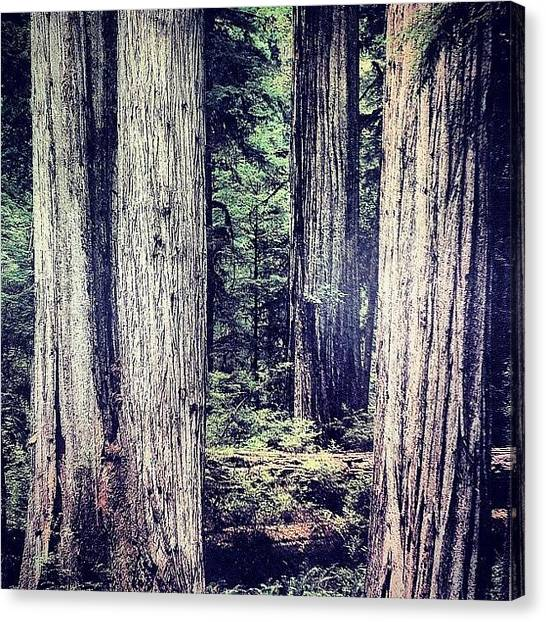 Redwood Forest Canvas Print - Tall Trees by Shana Ray