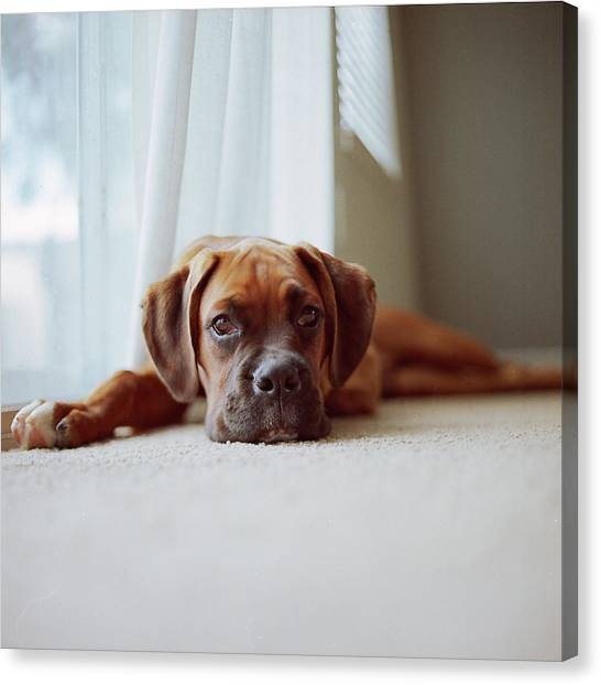 Dogs Canvas Print - Tan Boxer Puppy Laying On Carpet Near Window by Diyosa Carter