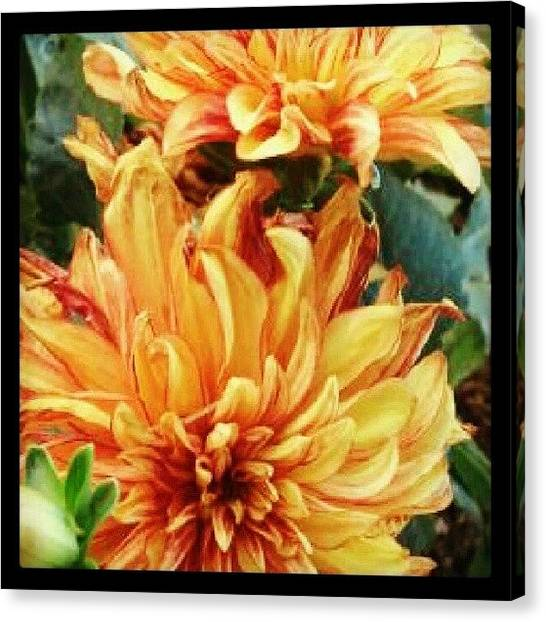Droid Canvas Print - Tangerine Dahlias Are In Full Force by Holly Sharpe-moore