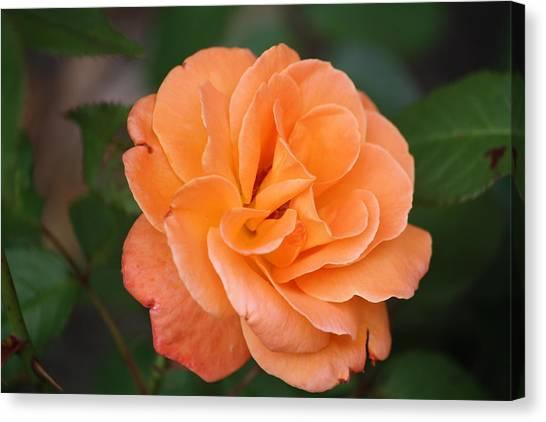 Tangerine Rose Canvas Print