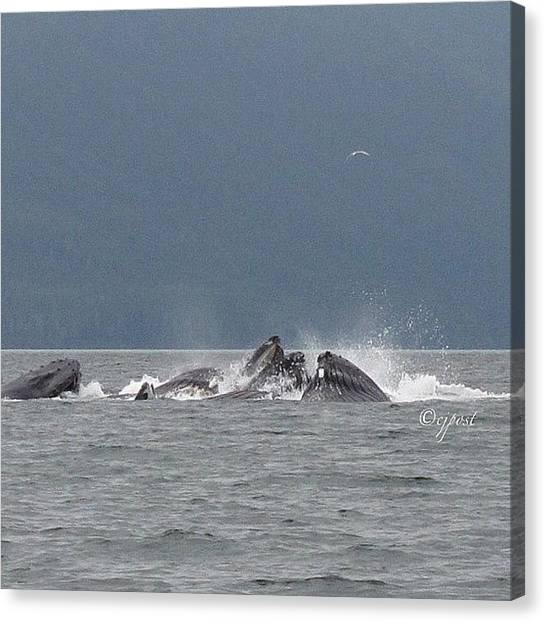 Whales Canvas Print - Teamwork! Humpback Whales Bubblenetting by Cynthia Post