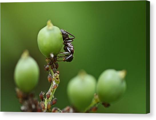 Honeydews Canvas Print - Tending The Herd by Susan Capuano
