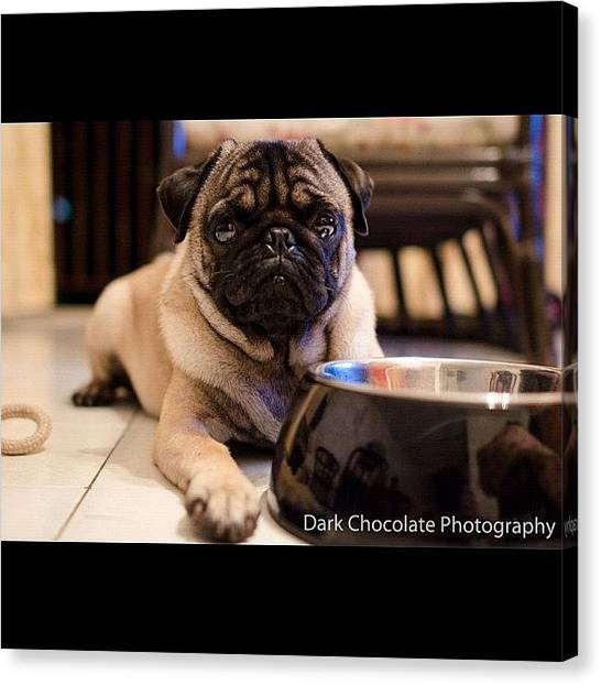 Pugs Canvas Print - Testing 28mm F1.8 G Lens by Zachary Voo