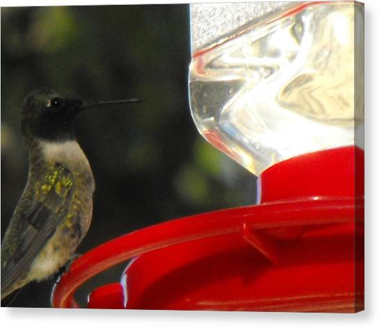 Texas Hummingbird Canvas Print by Rebecca Cearley