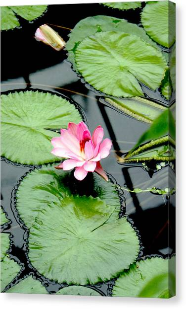 The Beauty Of Water Lily Canvas Print