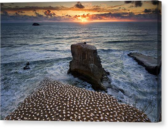 The Gannet Colony Canvas Print by Ng Hock How