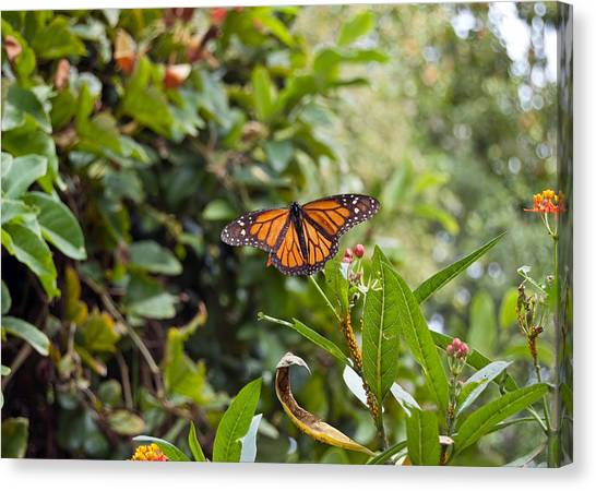 Canvas Print featuring the photograph The Happy Monarch by Margaret Pitcher
