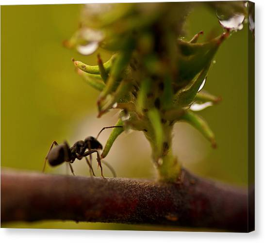 Ants Canvas Print - The Harvester by Susan Capuano